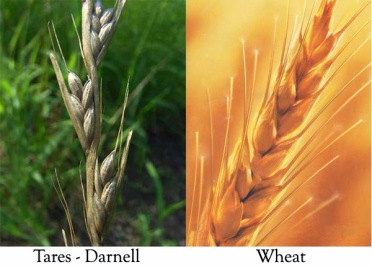 wheattares1