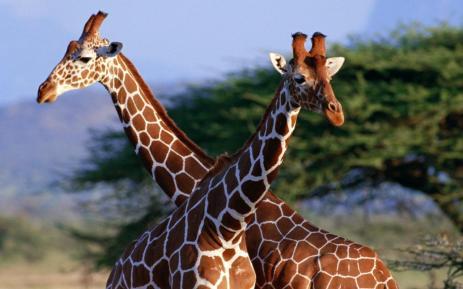 giraffe-577-2