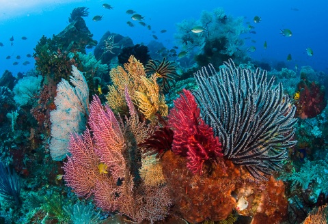 Coral reef in Komodo National Park in Komodo, Indonesia. The reefs in Komodo are among the richest in the world and home to over 1,000 types of fish, nearly 400 varieties of coral, 70 kinds of sponges and several types of whales, sharks, turtles and dolph