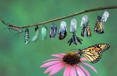 metamorphosis -butterfly