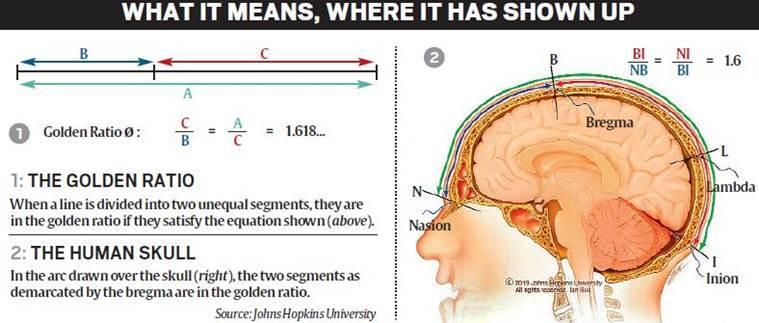 Golden ratio observed in human skulls