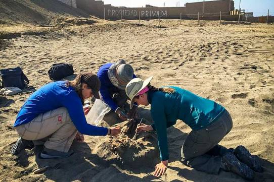 anthropologists in a new assessment of the demise of the coastal Peruvian people